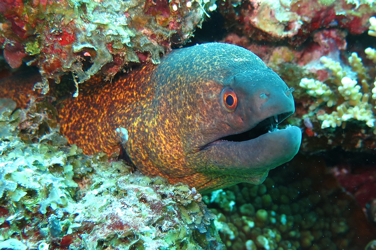 Moray eels at Bangka archipelago