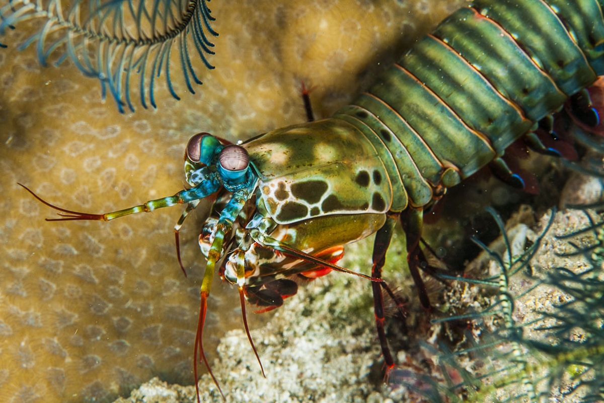 Mantis Shrimp at Gangga Island, North Sulawesi