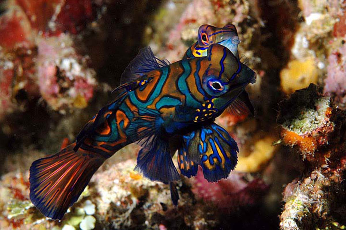 Mandarinfish Mating Behavior
