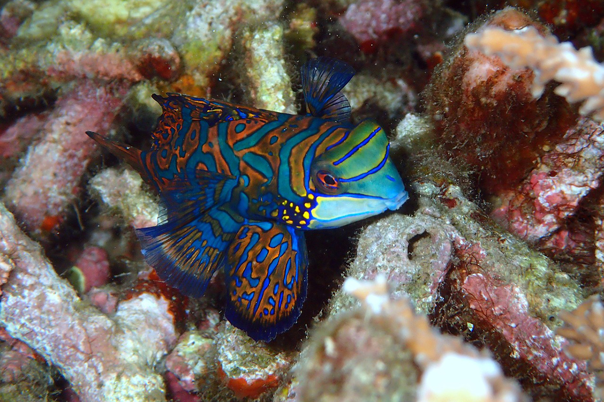 Mandarinfish at Gangga Island, North Sulawesi, Indonesia