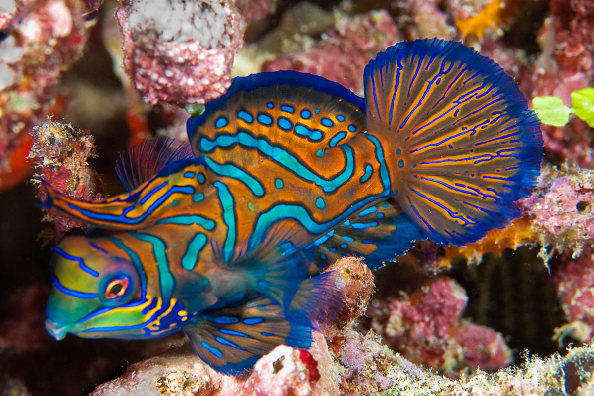 Mandarin fish at Lihaga Island - Dive Sites in the Bangka Archipelago