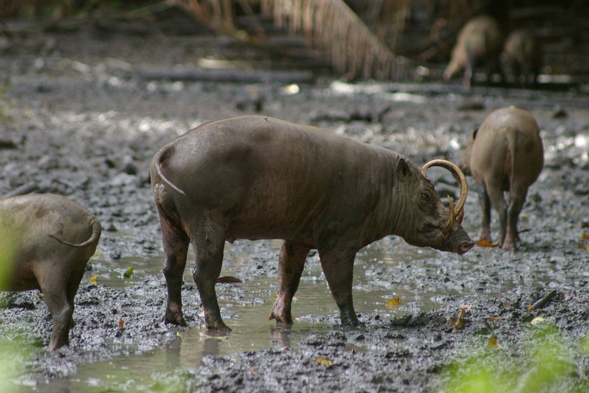 Babirusa on the islands of Sulawesi, Togian, Sula and Buru