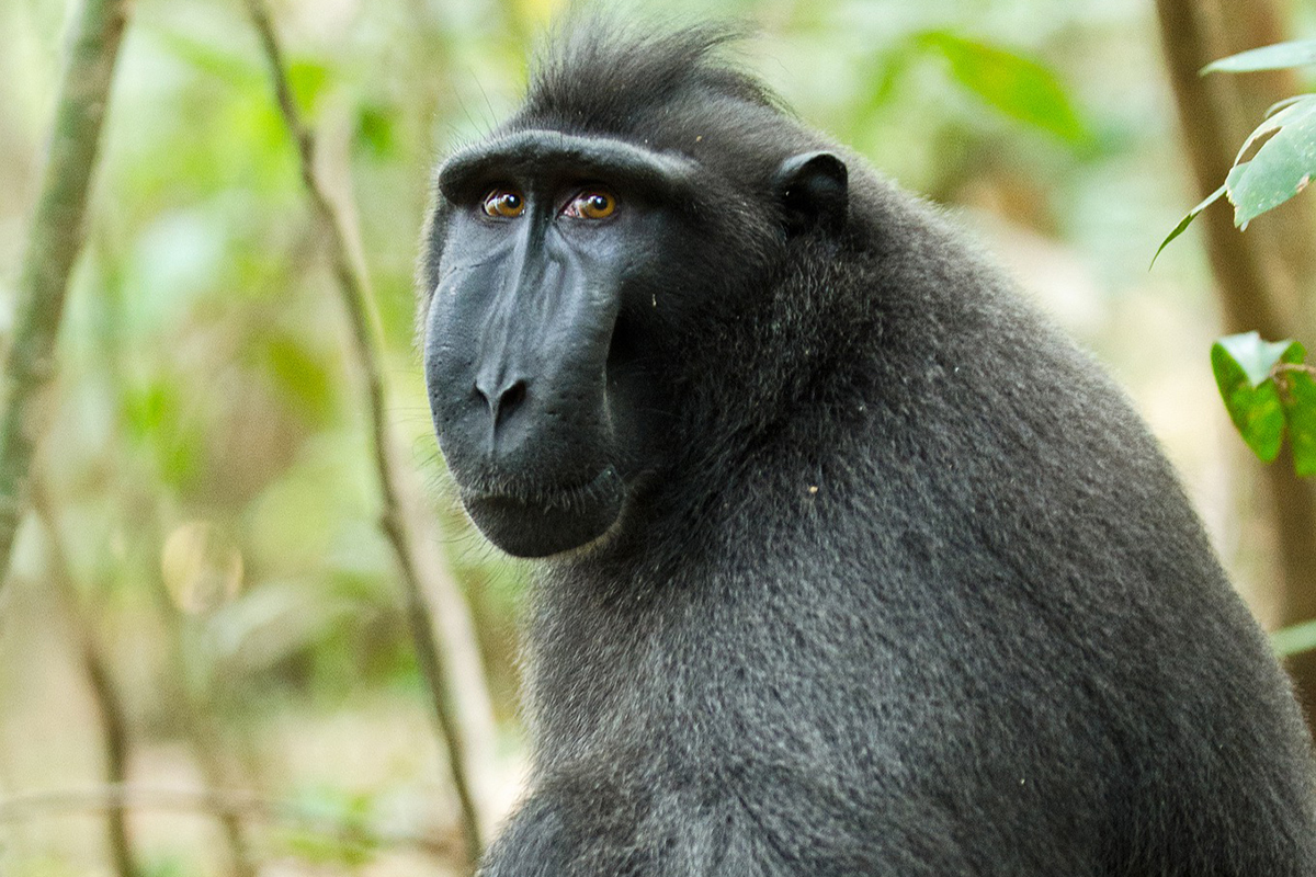 Celebes crested macaque at Tangkoko Nature Reserve in Manado, North Sulawesi
