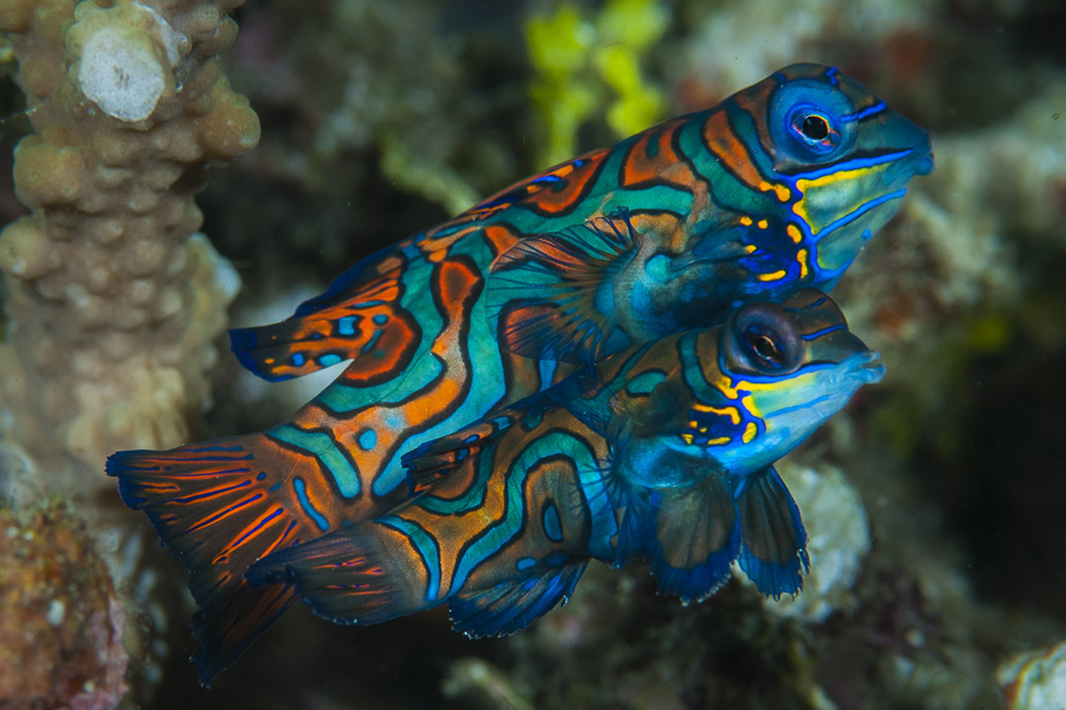 Mandarin fish - Diving Gangga Island House Reef in North Sulawesi