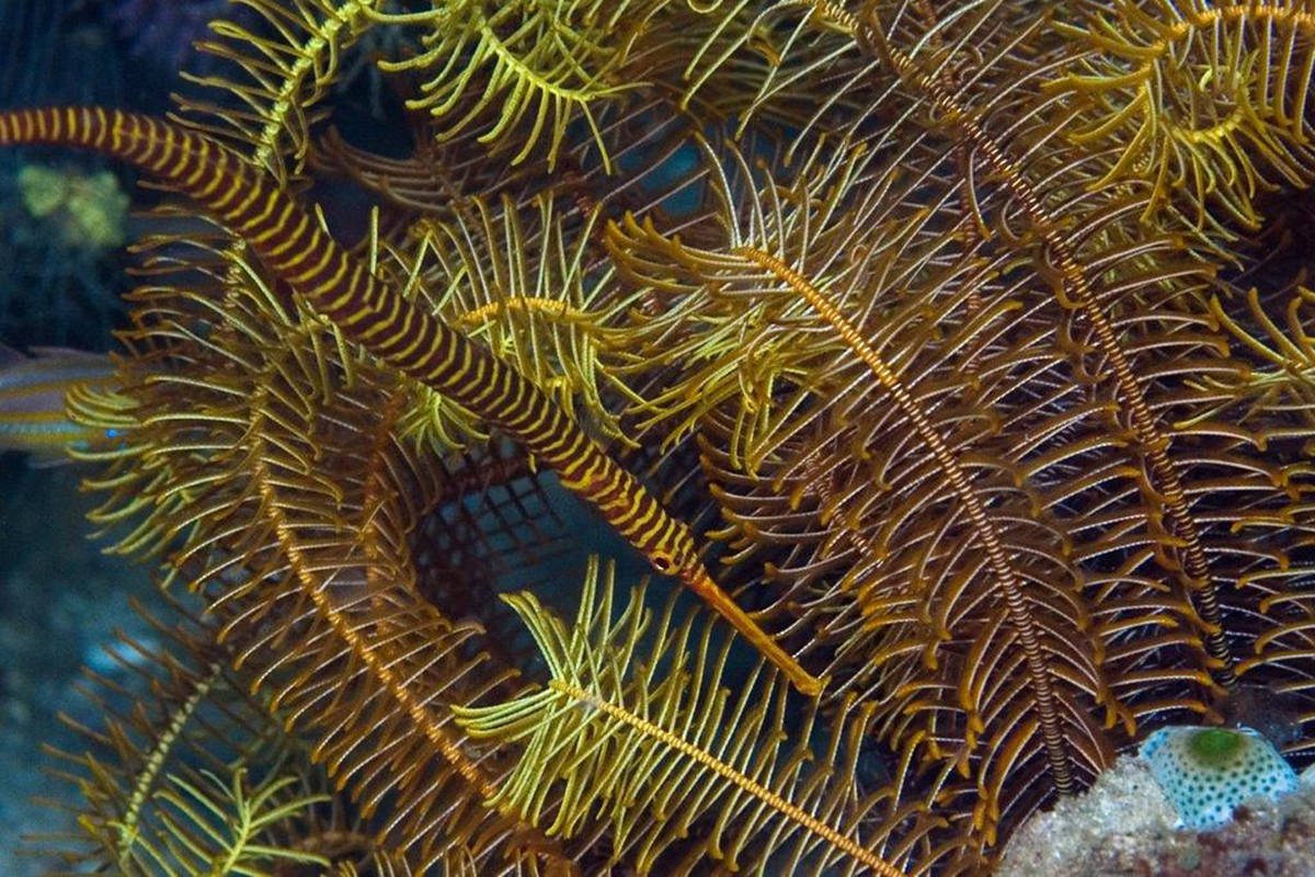 Hunting for Pipefish in North Sulawesi