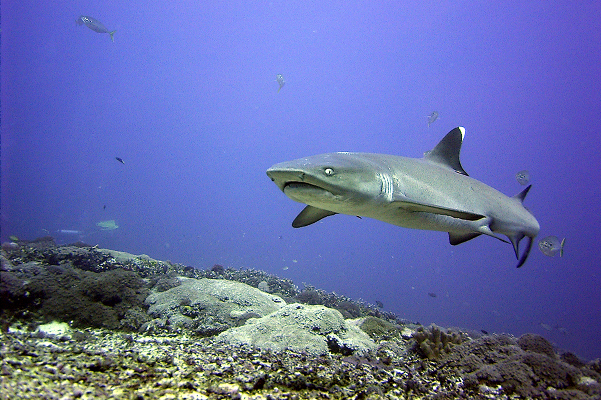 Learn About the White Tipped Reef Sharks of North Sulawesi
