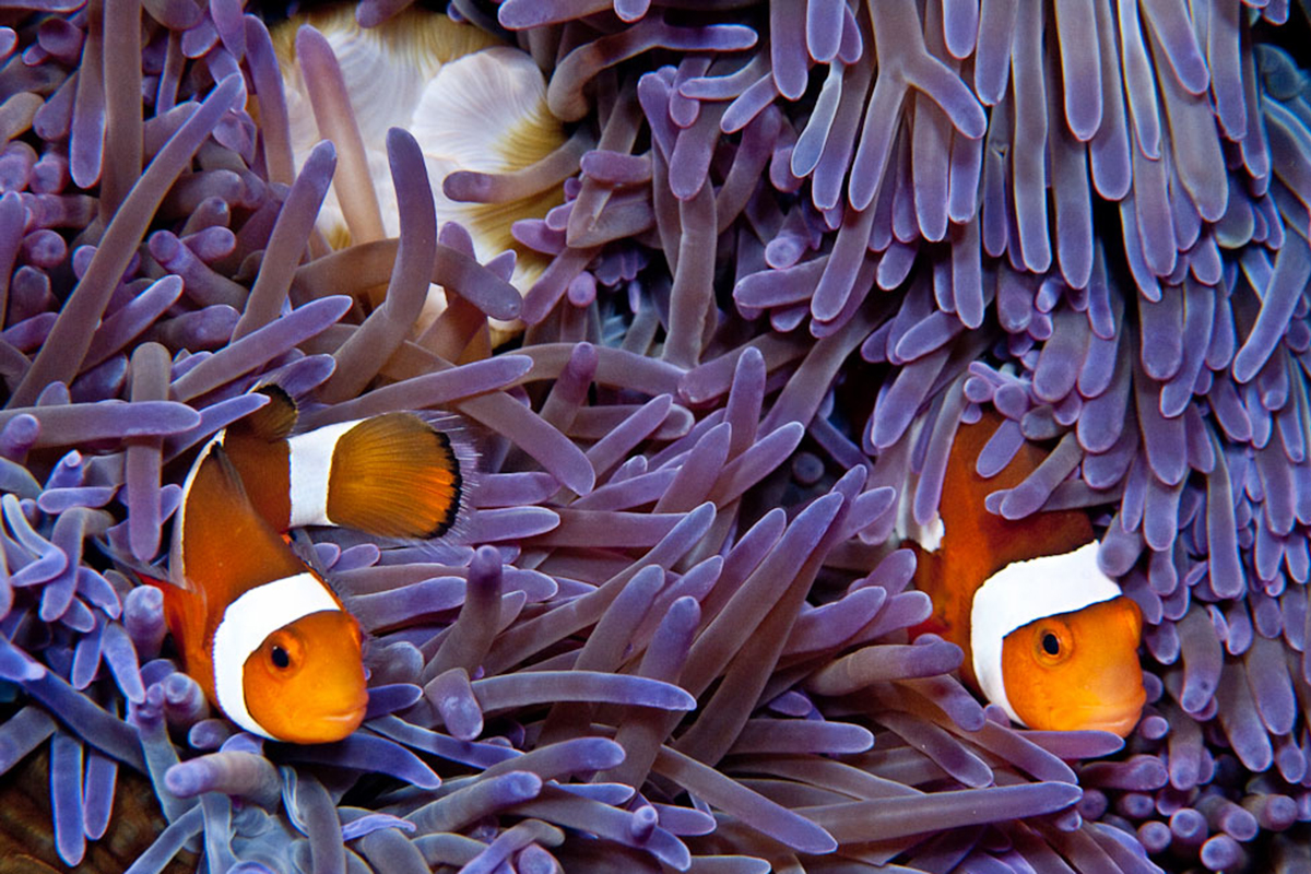 5 Things You May Not Know About Anemonefish