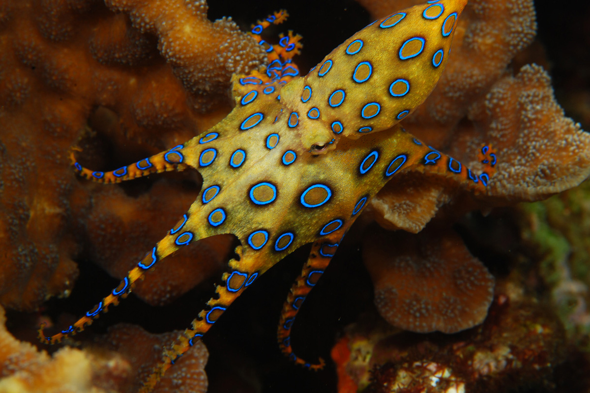 The Incredible Octopuses of North Sulawesi