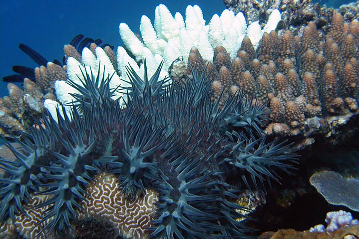 Protecting the Reefs of North Sulawesi from the Crown of Thorns Starfish