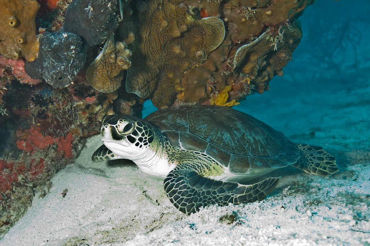 Turtles of Gangga Island: The First Hatching of The Year