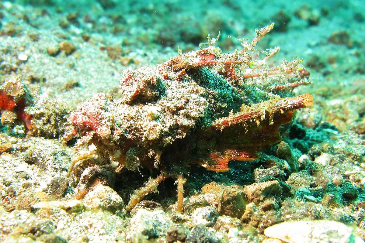 5 Amazing Camouflaged Marine Creatures in North Sulawesi