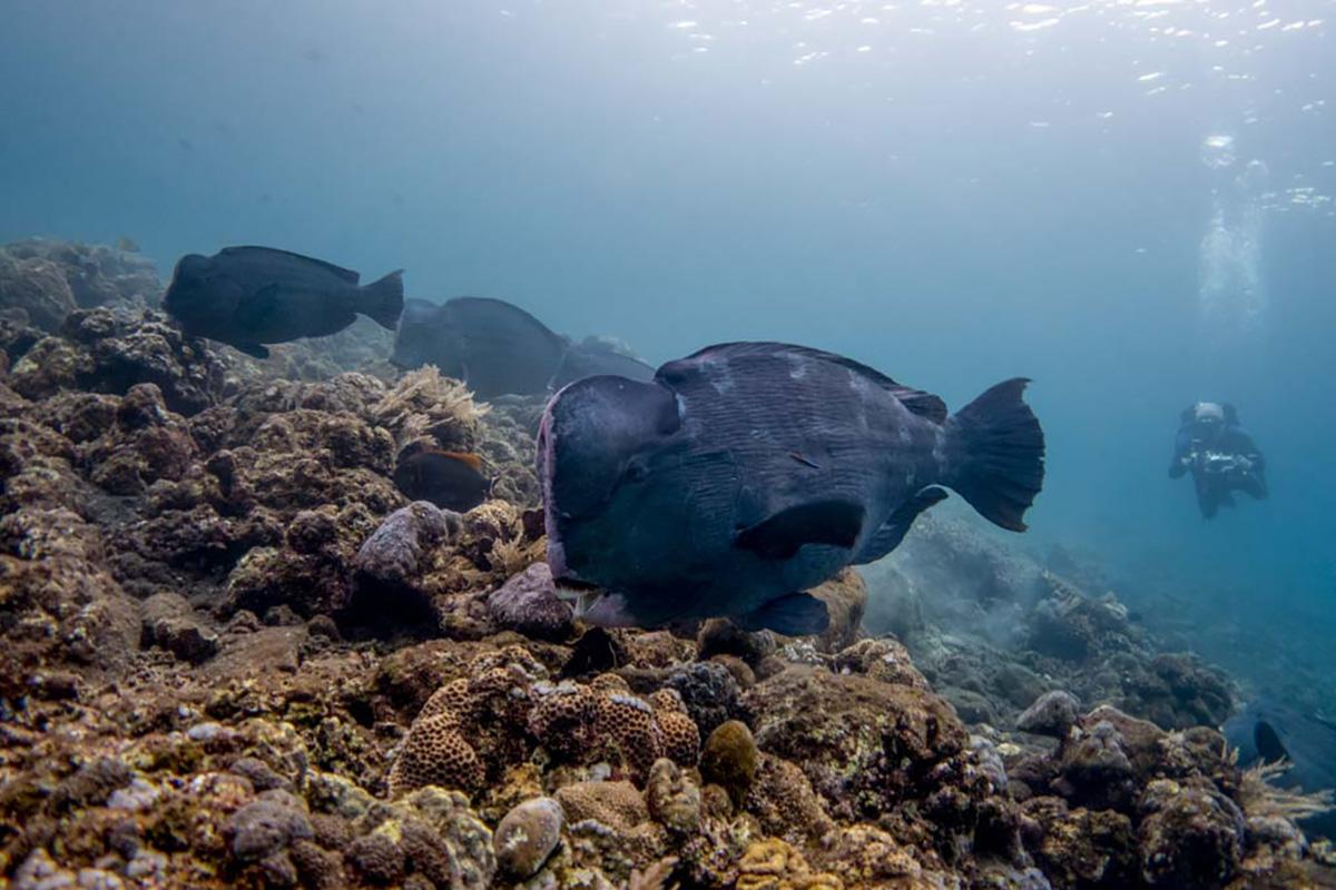Bumphead parrotfish at Aer Banua