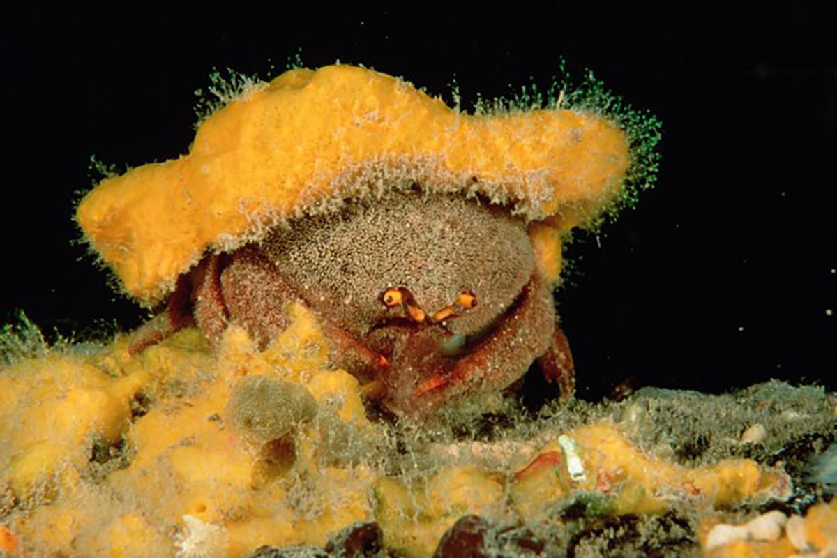 Symbiotic relationship Decorator crabs with Sea Sponges