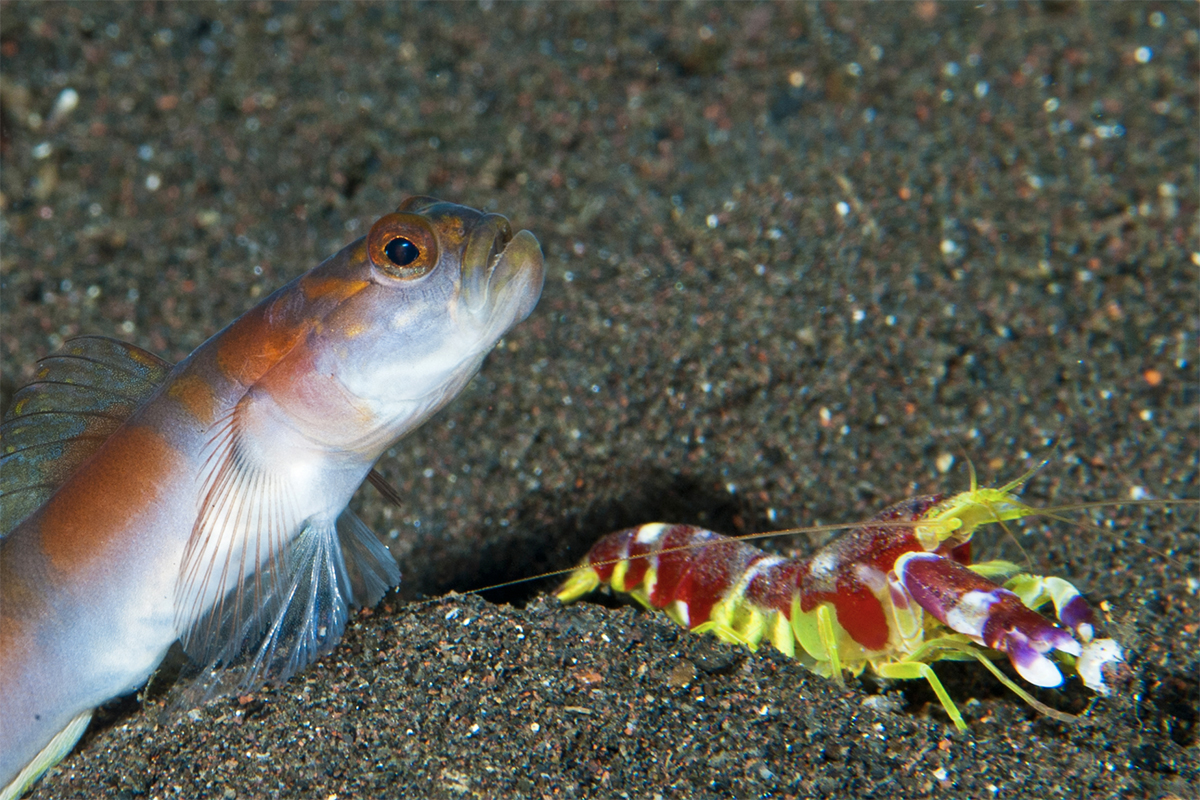 Symbiotic relationship Pistol Shrimps and Sand Gobies