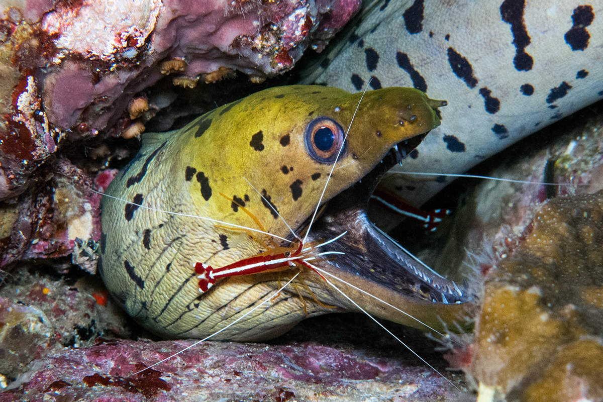 Symbiotic relationship Moray Eel with Cleaner Shrimp
